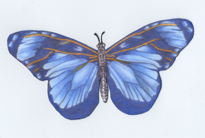 Butterfly blue front